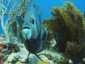 "Queen angelfish ""Holacanthus ciliaris"""