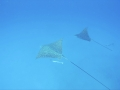 "Spotted eagle ray ""Aetobatis narinari"""