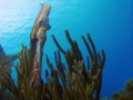 "Trumpetfish ""Aulostomus maculates"""